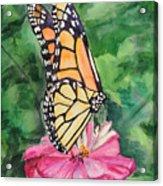 Zinnia And Monarch Acrylic Print by Judy Loper