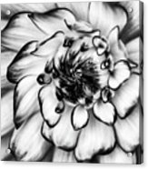Zinnia Close Up In Black And White Acrylic Print