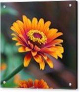 Zinnia Flowers Acrylic Print