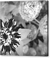 Zinnia In Black And White  Acrylic Print