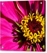 Zinnia In Evening Light Acrylic Print