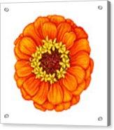 Zinnia In Orange Acrylic Print