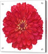 Zinnia In Red Acrylic Print