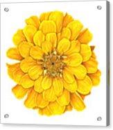 Zinnia In Yellow Acrylic Print
