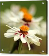 Zinnia Named Zahara Starlight Rose Acrylic Print