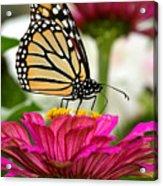 Zinnia Rose And Monarch Acrylic Print
