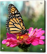 Zinnia With The Monarch Acrylic Print