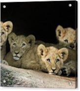 Four Cubs Acrylic Print