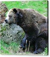 Bear Sleeping On A Rock. Acrylic Print