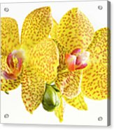 Beautiful Yellow Orchid On White Acrylic Print
