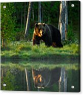 Big Brown Bear Walking Around Lake In Acrylic Print