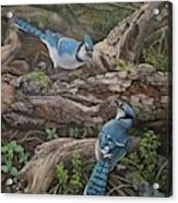 Blue Jay Stand Off Acrylic Print