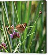 Buckeye Butterflies Acrylic Print