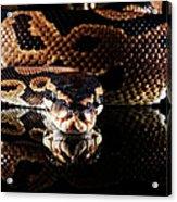 Burmese Python Acrylic Print