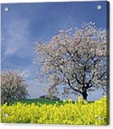 Cherry Tree In Blossom Acrylic Print