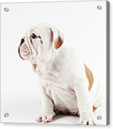 Cute Bulldog Puppy On White Background Acrylic Print
