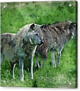 Digital Watercolor Painting Of Beautiful Timber Wolf Cnis Lupus  Acrylic Print