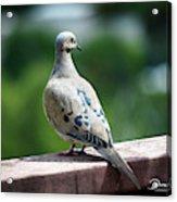 Dove On The Deck Acrylic Print
