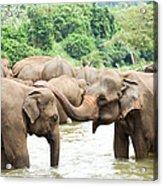 Elephants In River Acrylic Print
