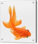 Fantail Goldfish Carassius Auratus Acrylic Print