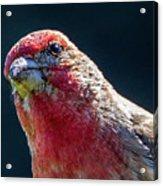 Finch Acrylic Print