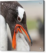 Gentoo Penguin Feeding Chick Acrylic Print