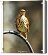 Georgia State Bird - Brown Thrasher Acrylic Print
