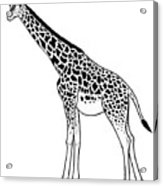 Giraffe - Ink Illustration Acrylic Print