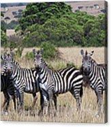 Grants Zebras, Kenya Acrylic Print