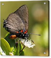 Great Purple Hairstreak Acrylic Print