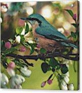 Harbinger Of Spring Acrylic Print