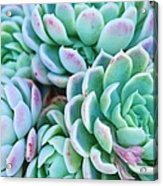 Hens And Chicks Succulent In Soft Focus Acrylic Print
