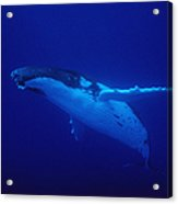 Humpback Whale, Megaptera Novaeangliae Acrylic Print