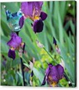Iris In The Cottage Garden Acrylic Print