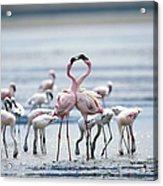 Lesser Flamingoes Phoeniconaias Minor Acrylic Print