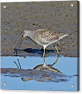 Long-billed Dowitcher Acrylic Print
