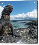 Marine Iguana Basking On Coast Acrylic Print