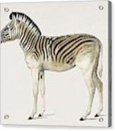 Mountain Zebra  Dauw  Illustrated By Charles Dessalines D' Orbigny  1806-1876  Acrylic Print
