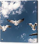Myanmar, Inle Lake, Seagulls Inflight Acrylic Print