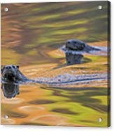 North American River Otter Two Swimming, Maine, Usa Acrylic Print