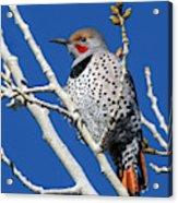 Northern Flicker Woodpecker Acrylic Print