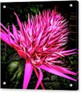 Pink Princess Bromeliad Acrylic Print