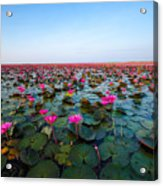 Sea Of Red Lotus , Marsh Red Lotus Acrylic Print
