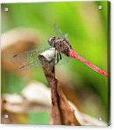 Small Beautiful Dragonfly Acrylic Print