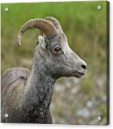 Stone's Sheep Acrylic Print