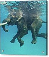 Swimming Elephant Acrylic Print