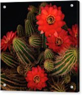 The Beauty Of Red  Acrylic Print