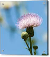 Thistle With Blue Sky Background Acrylic Print