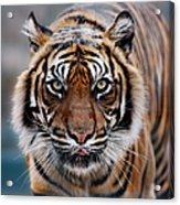 Tiger Acrylic Print