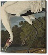 Whooping Crane  From The Birds Of America  Acrylic Print